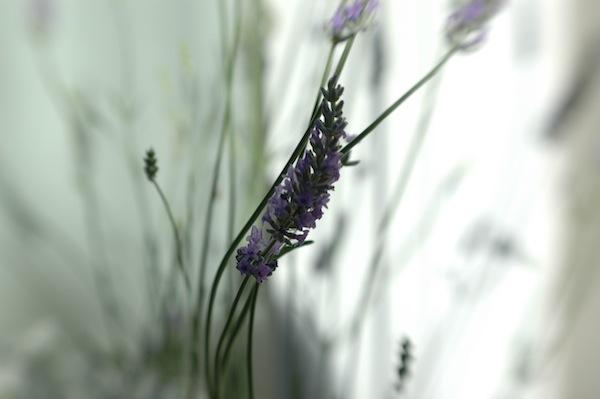 Lavender lensbaby