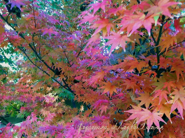 Japanese maple leaves copy