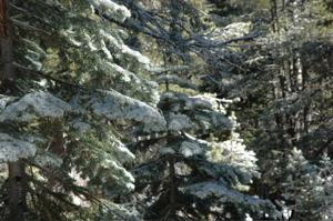 Snow_on_trees_1
